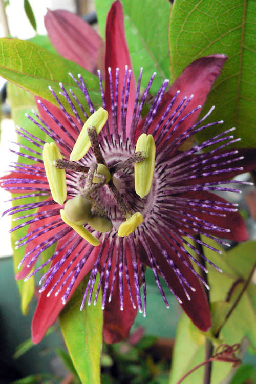 Passiflora 'Pura Vida' (passion flower)