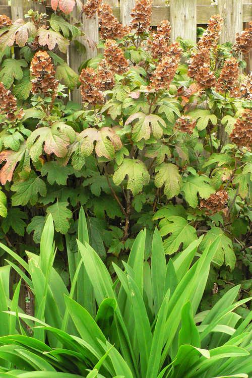 Hydrangea quercifolia 'Flemygea' (Snow Queen oakleaf hydrangea) and Hymenocallis imperialis (spider lily)