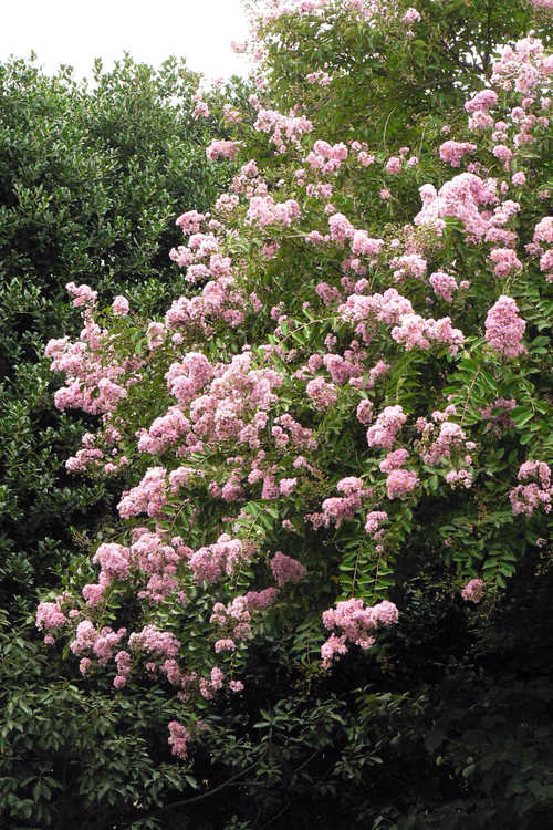 Lagerstroemia indica (crepe myrtle)