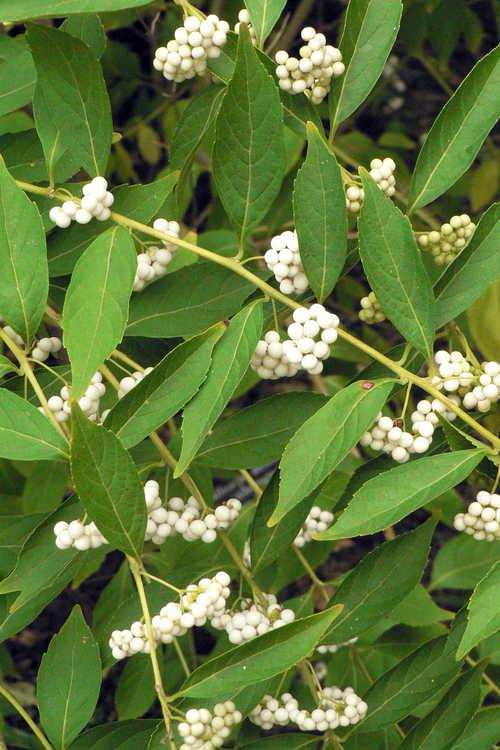 Callicarpa dichotoma f. albifructa (white beautyberry)