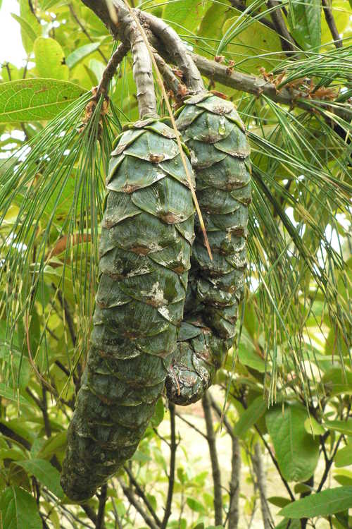 Pinus wallichiana 'Zebrina' (variegated Himalayan pine)