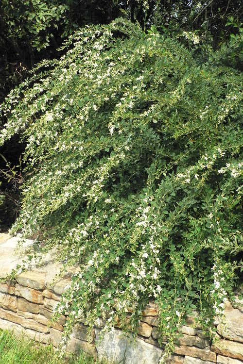Lespedeza thunbergii 'White Fountain' (white bush-clover)