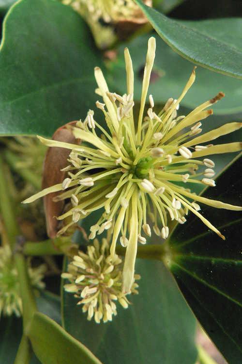 Exbucklandia populnea (Malayan aspen)