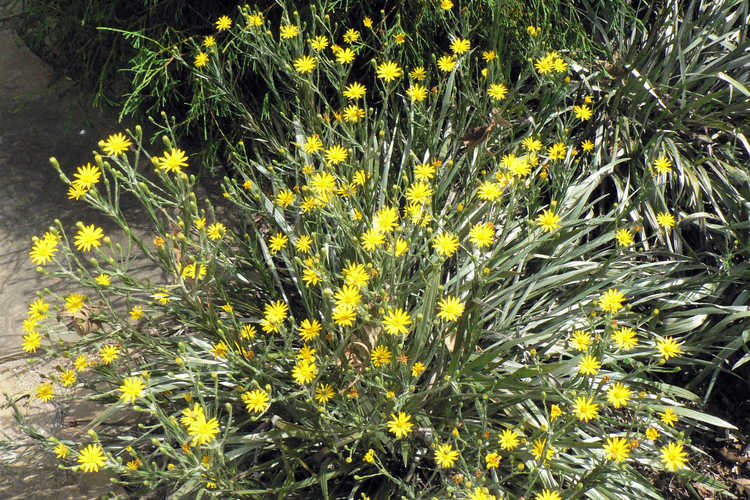 Pityopsis graminifolia (narrowleaf silk-grass)