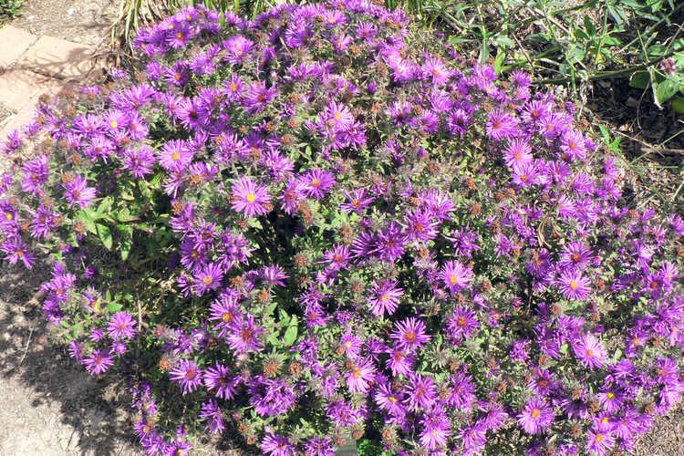 Symphyotrichum novae-angliae 'Purple Dome' (New England aster)