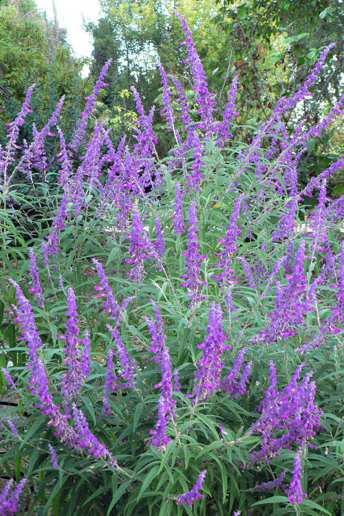 Salvia leucantha 'Midnight' (Mexican bush sage)