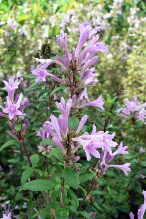Leptodermis oblonga (false lilac)