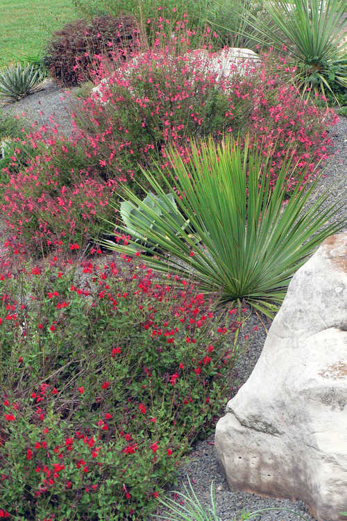 Salvia greggii 'Flame' (autumn sage) and Salvia greggii 'Lipstick' (autumn sage) and Yucca thompsoniana (Trans Pecos yucca)