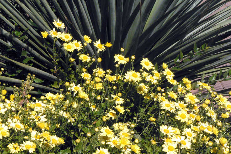 Chrysanthemum (15-501 yellow) and Nolina nelsonii (Nelson's blue bear-grass)