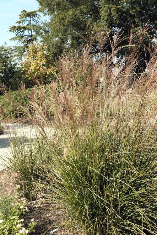 Miscanthus sinensis 'Adagio' (compact maiden grass)