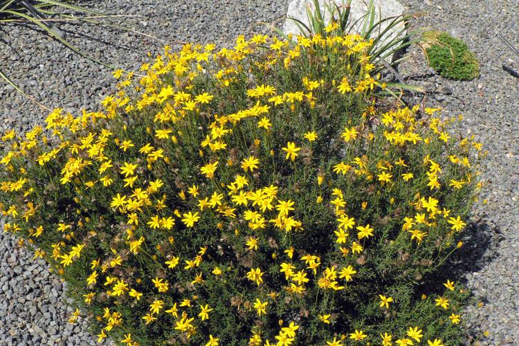 Chrysactinia mexicana (damianita)
