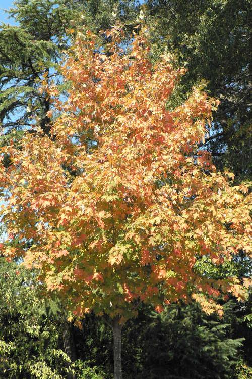 Acer saccharum 'Flax Mill Majesty' (sugar maple)