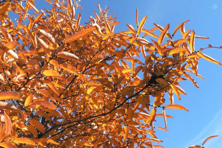 Lindera umbellata (kuro-moji spicebush)