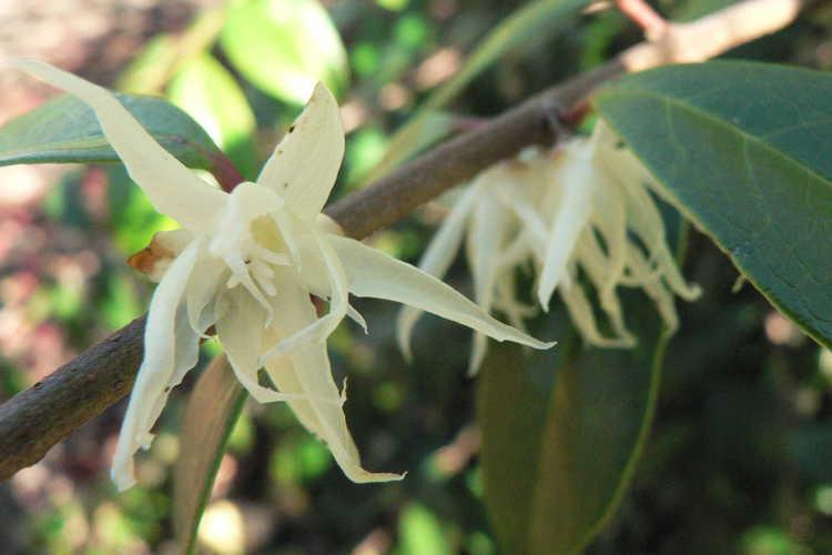 Chimonanthus nitens (evergreen chimonanthus)