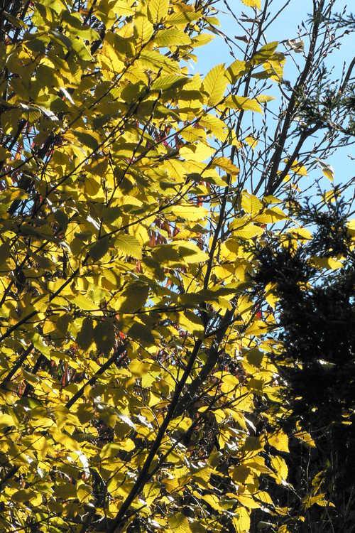 Carpinus betulus 'Frans Fontaine' (upright European hornbeam)