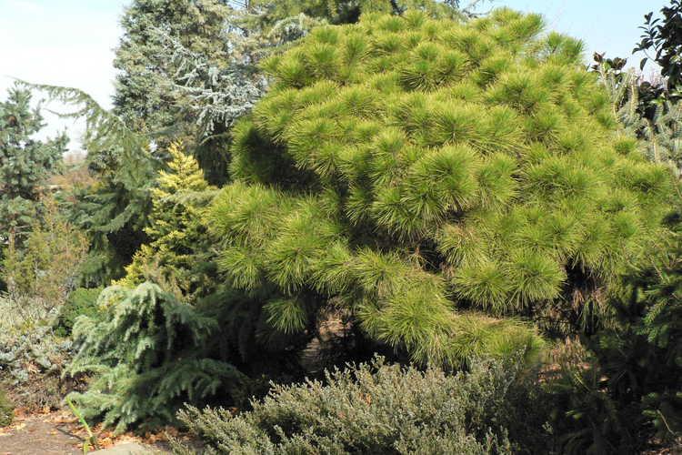 Pinus taeda 'Little Albert' (dwarf loblolly pine)