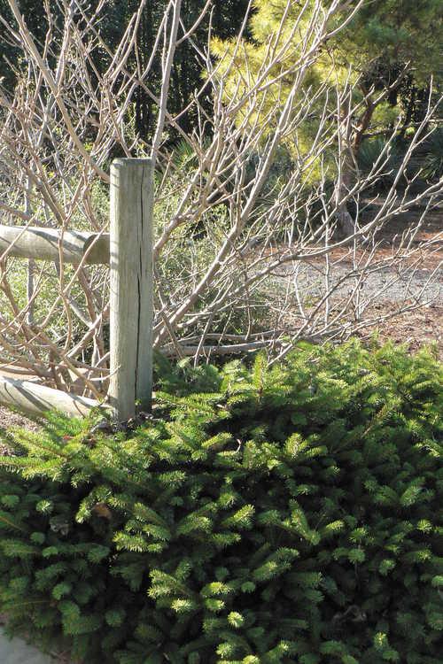 Picea abies 'Maxwellii' (Maxwell's dwarf spruce)
