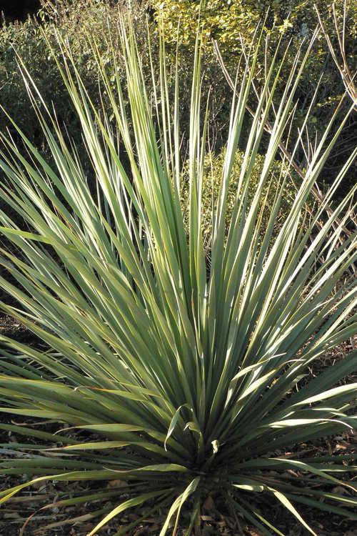Nolina nelsonii (Nelson's blue bear-grass)