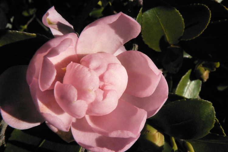 Camellia sasanqua 'Pink Snow' (sasanqua camellia)