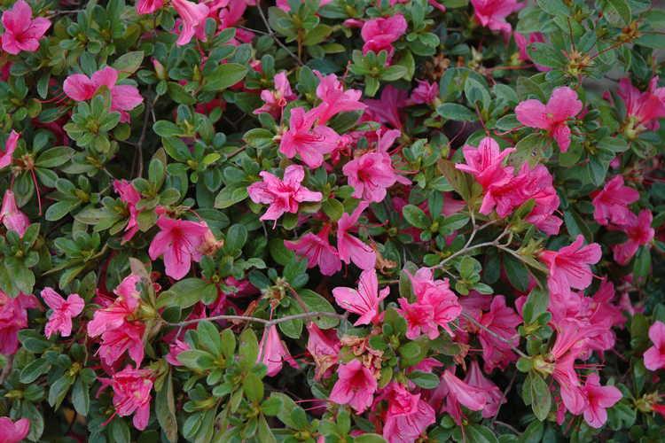 Rhododendron 'Conlef' (Autumn Cheer Encore® azalea)