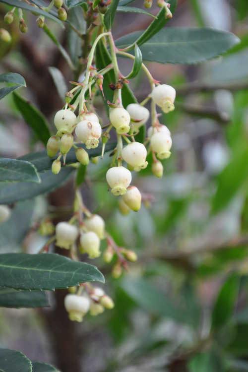 Arbutus unedo 'Elfin King' (compact strawberry tree)
