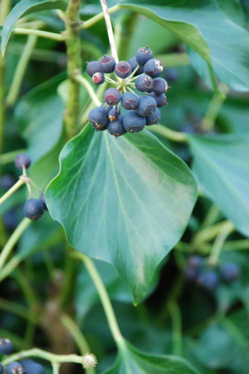 Hedera helix 'Prince Avenue' (adult form) (adult English ivy)