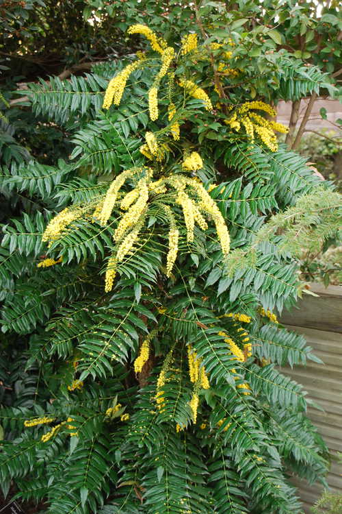 Mahonia ×media 'Hope' (grapeholly)