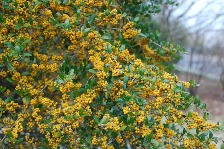 Ilex vomitoria 'Yawkey' (yellow-berry yaupon holly)