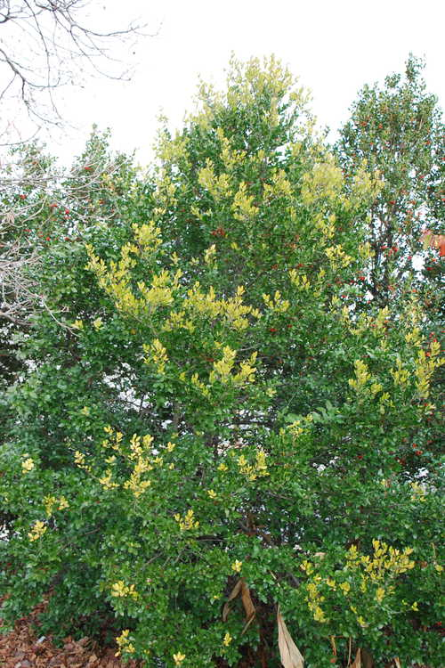 Ilex vomitoria 'Gold Top' (gold-flush yaupon holly)