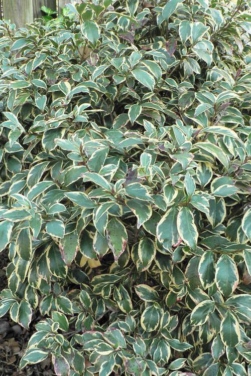 Cleyera japonica 'Variegata' (variegated Japanese cleyera)