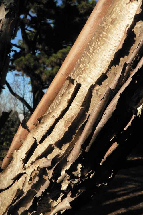 Acer triflorum (three-flower maple)