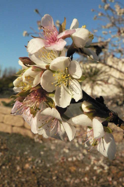 Prunus incisa (Fuji cherry)