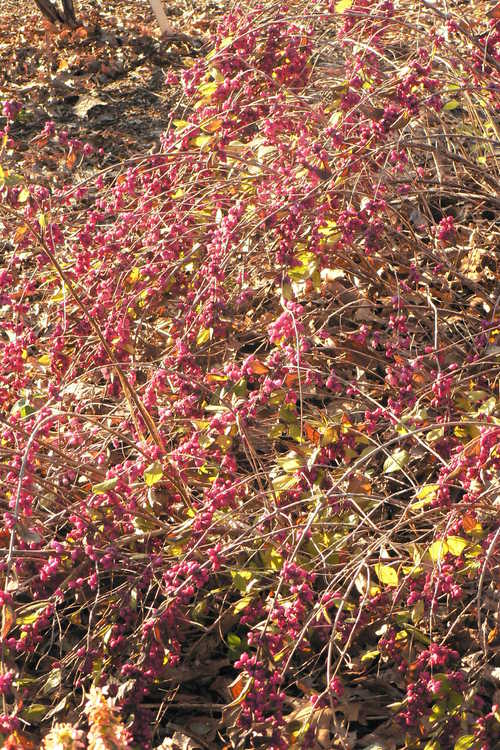 Symphoricarpos ×doorenbosii 'Pink Magic' (Doorenbos coralberry)