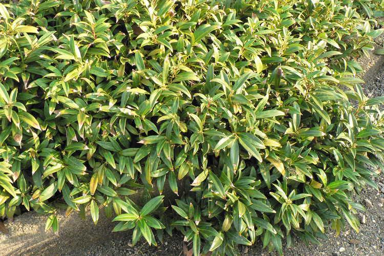 Sarcococca hookeriana var. hookeriana (sweet box)
