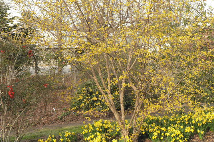 Cornus officinalis 'Spring Glow' (Cornelian cherry) and Narcissus 'February Gold' (cyclamineus daffodil)