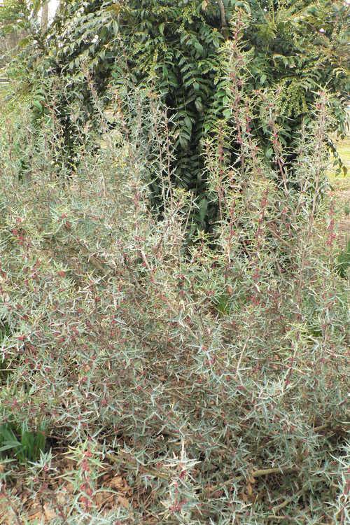 Mahonia trifoliolata (algerita)