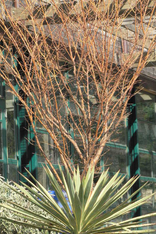Yucca gloriosa 'Variegata' (variegated mound-lily yucca) and Zelkova serrata 'Ogon' (golden Japanese zelkova)