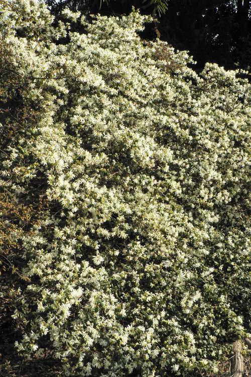Loropetalum chinense var. chinense (white Chinese fringe-flower)