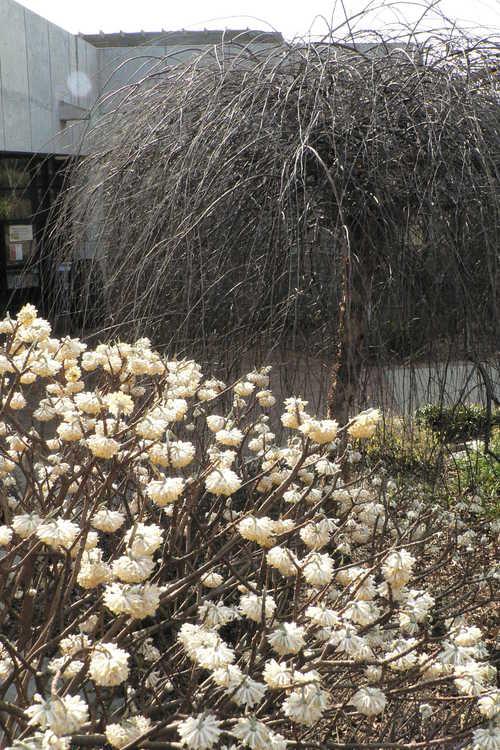 Betula nigra 'Summer Cascade' (weeping river birch) and Edgeworthia chrysantha 'Winter Gold' (golden paperbush) - District X Garden Club of North Carolina Wall Garden and Weeping Walk