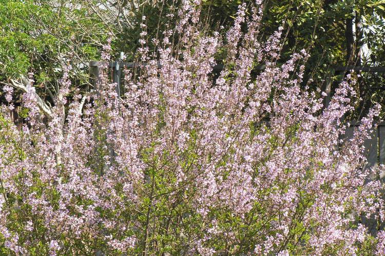 Syringa ×laciniata (cutleaf lilac)