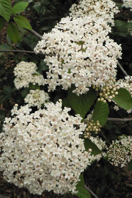 Viburnum erosum (Japanese arrowwood)