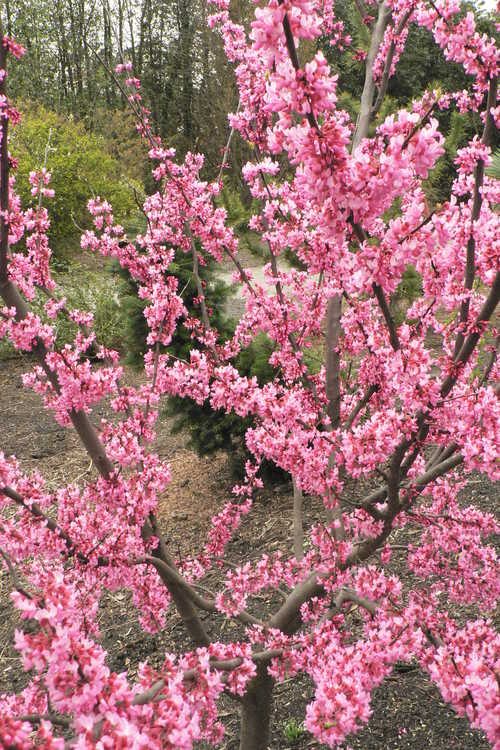 Cercis canadensis 'Tennessee Pink' (eastern redbud)