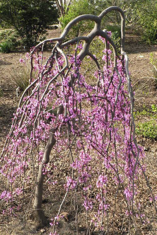 Cercis canadensis 'Covey' (Lavender Twist weeping eastern redbud)