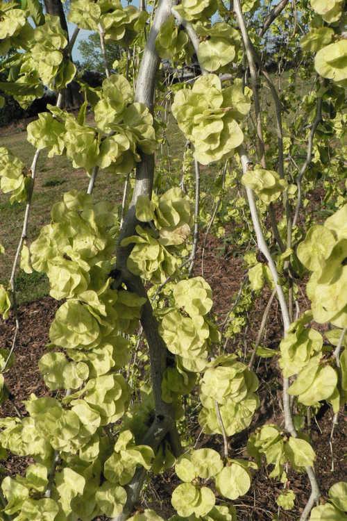 Ulmus minor subsp. minor 'Pendula' (weeping smoothleaf elm)