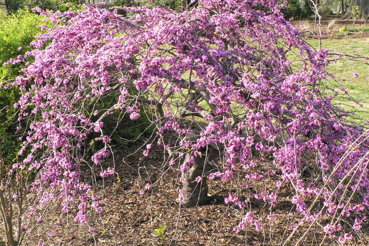 Cercis canadensis var. texensis 'Traveller' (weeping Texas redbud)