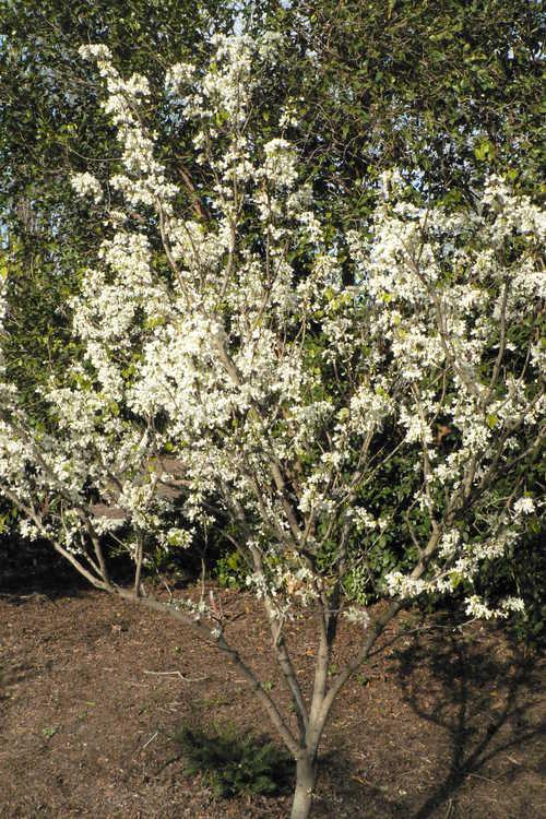 Cercis chinensis 'Shirobana' (white Chinese redbud )