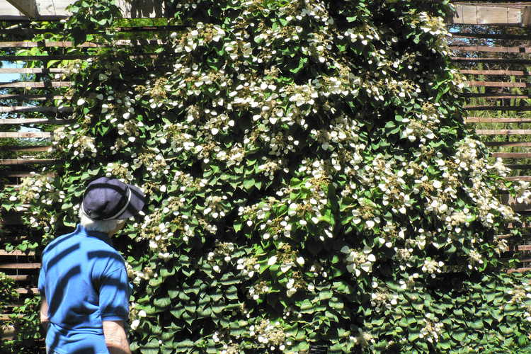 Schizophragma hydrangeoides 'Moonlight' (pewter-leaf Japanese climbing hydrangea)