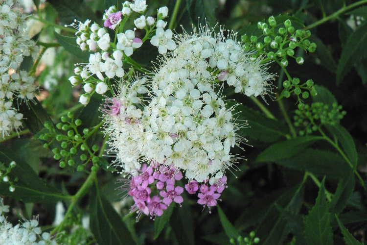 Spiraea japonica 'Shibori' (Japanese spirea)