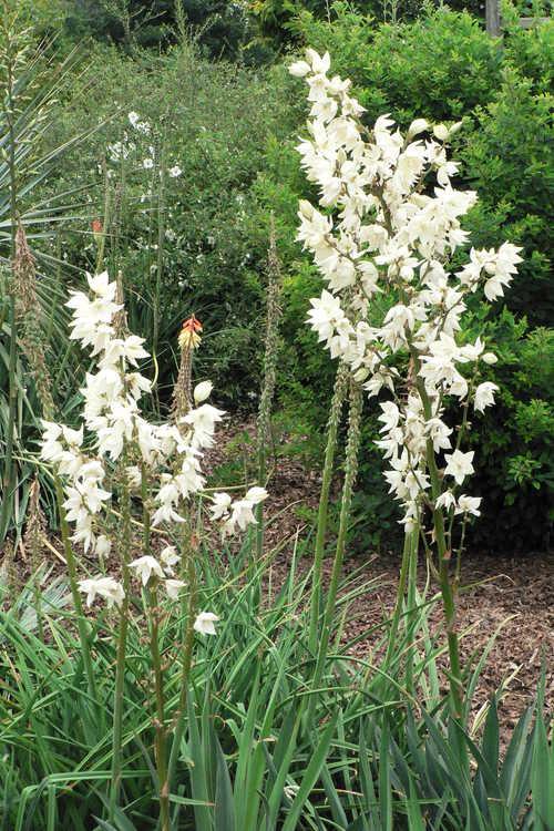 Yucca flaccida 'Ivory' (weak-leaf yucca)