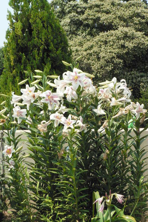 Lagerstroemia fauriei 'Fantasy' (Japanese crepe myrtle) and Lilium 'Triumphator'